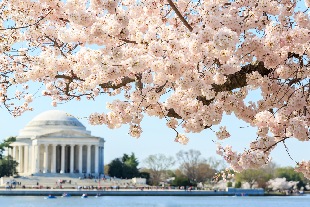Cherry Blossom Festival: What to Know Before You Go